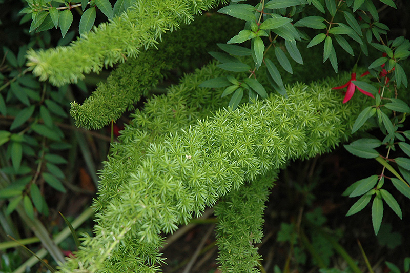 Myers Foxtail Fern (Asparagus densiflorus 'Myers') at Wolf Hill Home & Garden