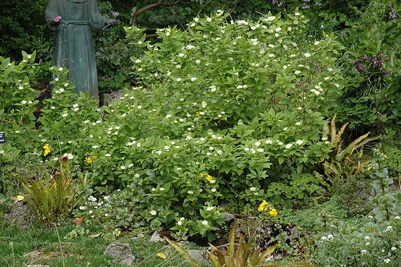 White Heliotrope (Heliotropium arborescens 'Album') at Wolf Hill Home & Garden