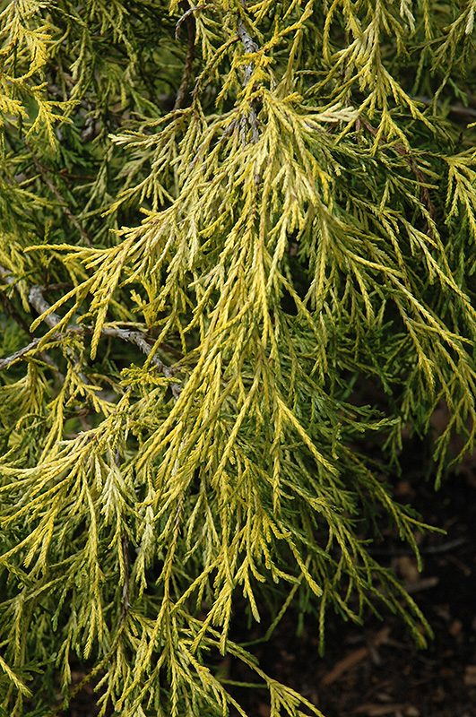 Lemon Thread Falsecypress (Chamaecyparis pisifera 'Lemon Thread') at Wolf Hill Home & Garden
