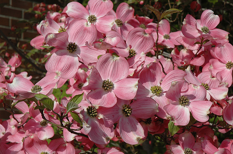 Cherokee Brave Flowering Dogwood (Cornus florida 'Cherokee Brave') at Wolf Hill Home & Garden