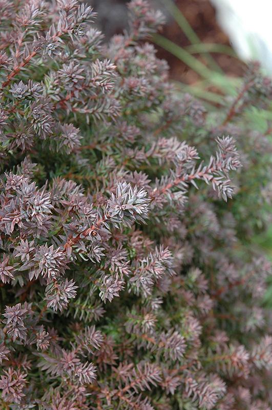 Red Star Whitecedar (Chamaecyparis thyoides 'Red Star') at Wolf Hill Home & Garden