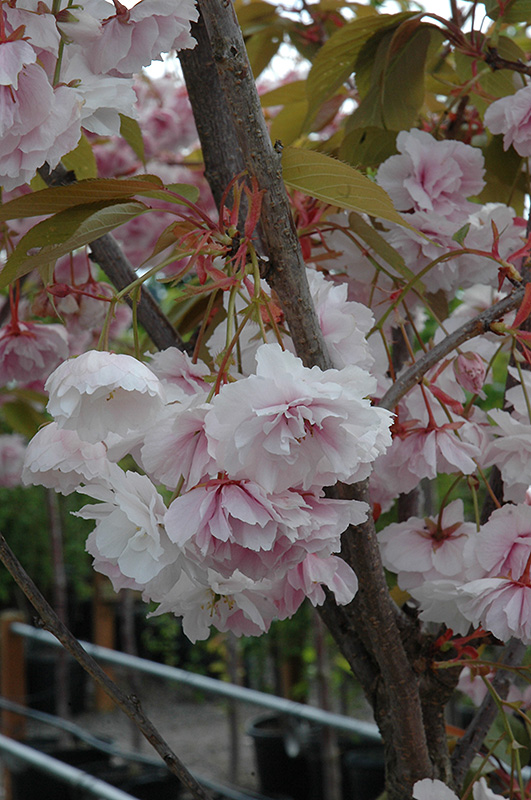 Shirofugen Flowering Cherry (Prunus serrulata 'Shirofugen') at Wolf Hill Home & Garden