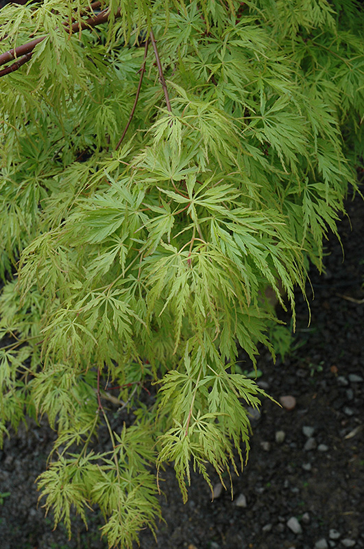 Seiryu Japanese Maple (Acer palmatum 'Seiryu') at Wolf Hill Home & Garden