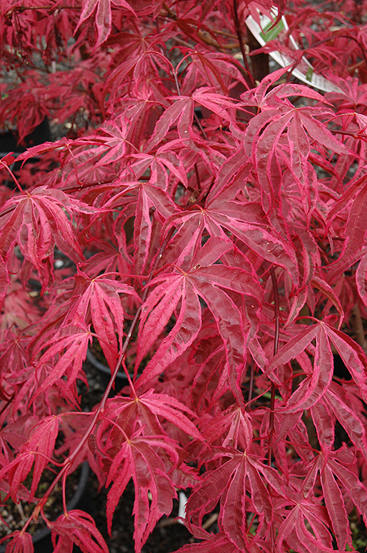 Shirazz Japanese Maple (Acer palmatum 'Gwen's Rose Delight') at Wolf Hill Home & Garden