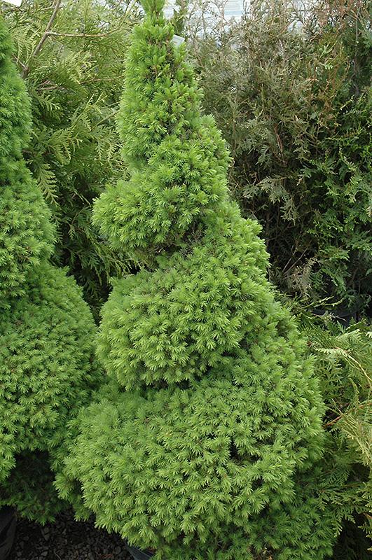 Dwarf Alberta Spruce (Picea glauca 'Conica (spiral)') at Wolf Hill Home & Garden