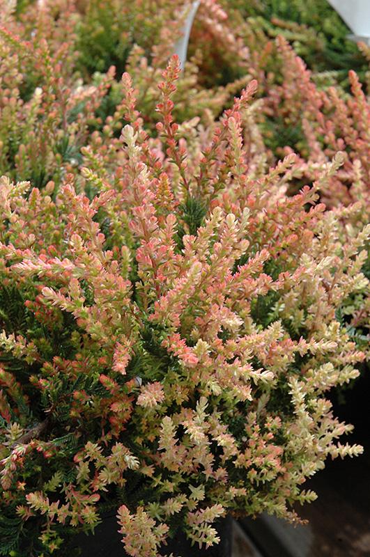 Spring Torch Heather (Calluna vulgaris 'Spring Torch') at Wolf Hill Home & Garden