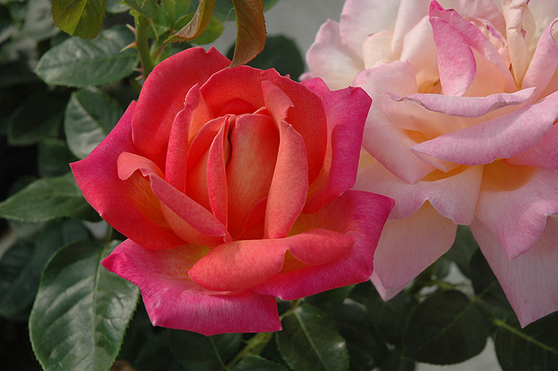 Chicago Peace Rose (Rosa 'Chicago Peace') at Wolf Hill Home & Garden