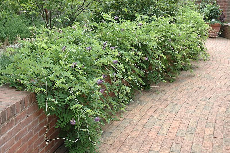 Amethyst Falls Wisteria (Wisteria frutescens 'Amethyst Falls') at Wolf Hill Home & Garden