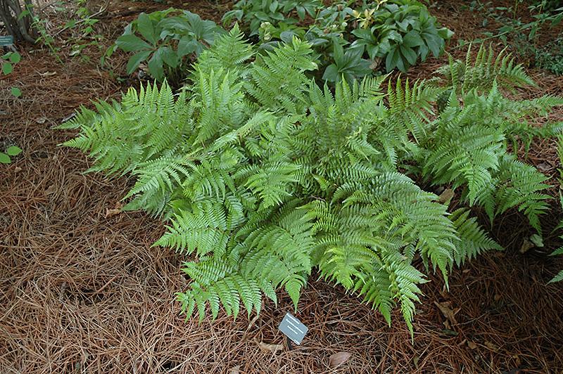 Autumn Fern (Dryopteris erythrosora) at Wolf Hill Home & Garden