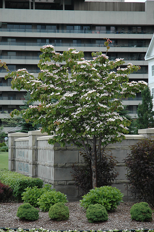 Flowering Dogwood (Cornus florida) at Wolf Hill Home & Garden