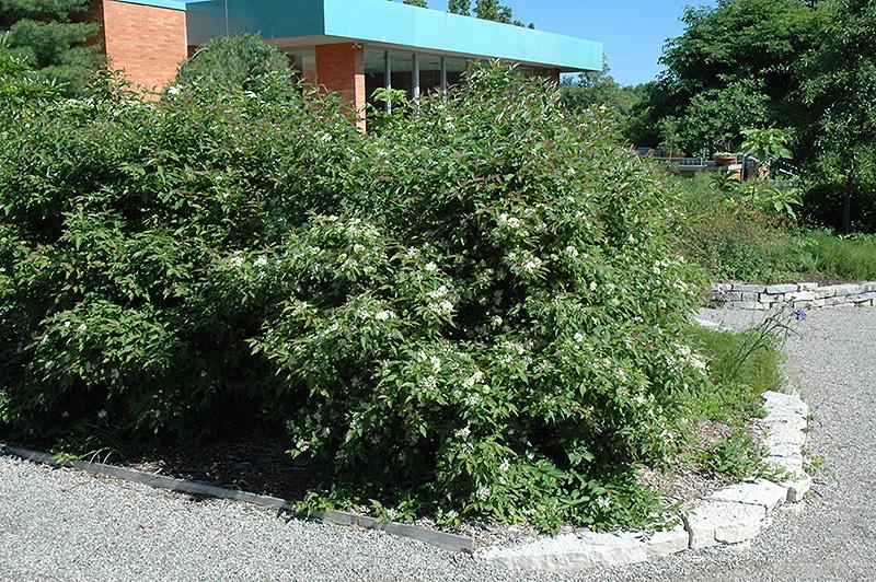 Gray Dogwood (Cornus racemosa) at Wolf Hill Home & Garden