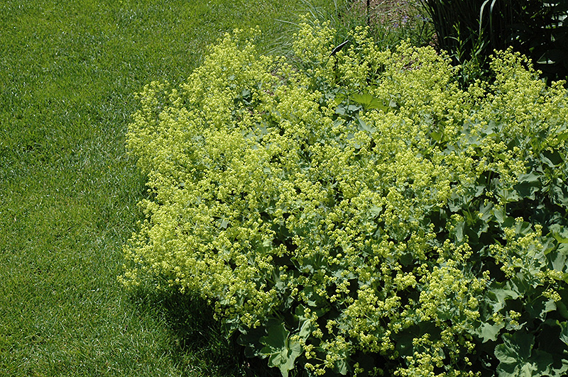 Lady's Mantle (Alchemilla mollis) at Wolf Hill Home & Garden