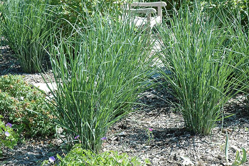 Cloud Nine Switch Grass (Panicum virgatum 'Cloud Nine') at Wolf Hill Home & Garden