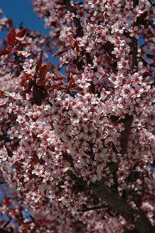 Thundercloud Plum (Prunus cerasifera 'Thundercloud') at Wolf Hill Home & Garden