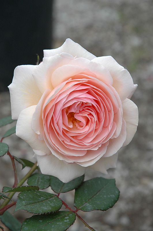 A Shropshire Lad Rose (Rosa 'A Shropshire Lad') at Wolf Hill Home & Garden