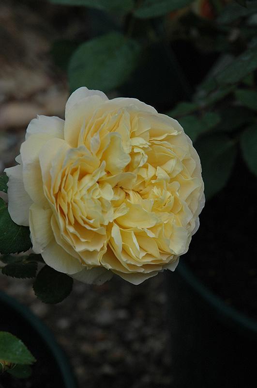 Charles Darwin Rose (Rosa 'Charles Darwin') at Wolf Hill Home & Garden