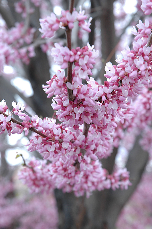Eastern Redbud (Cercis canadensis) at Wolf Hill Home & Garden