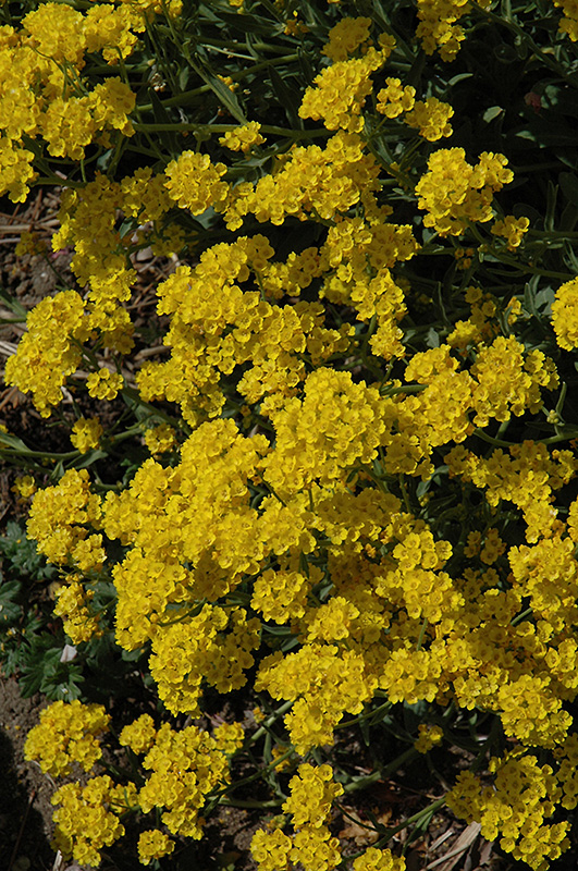 Basket Of Gold Alyssum (Aurinia saxatilis) at Wolf Hill Home & Garden