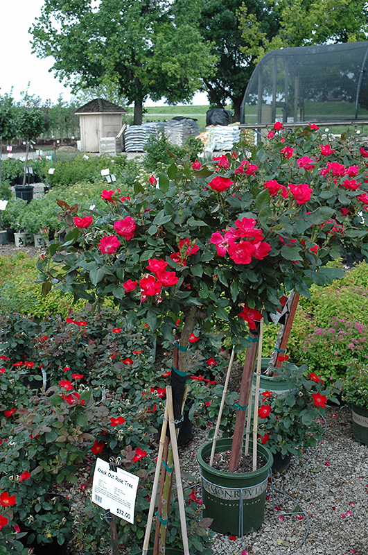 Knock Out Rose Tree (Rosa 'Radrazz') at Wolf Hill Home & Garden