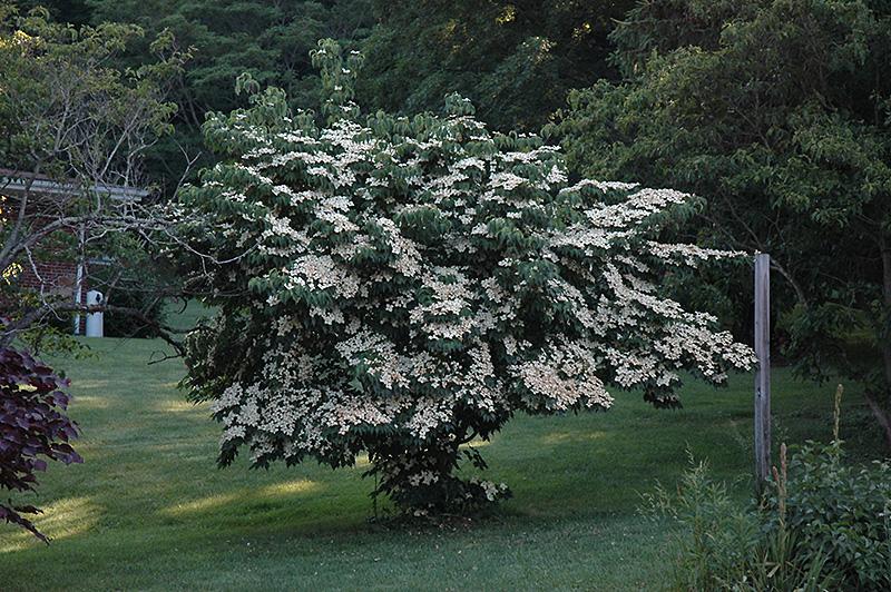 Milky Way Chinese Dogwood (Cornus kousa 'Milky Way') at Wolf Hill Home & Garden