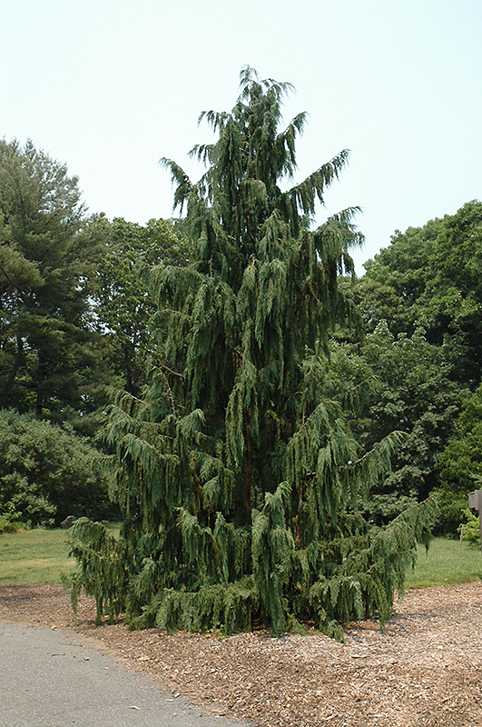 Blue Weeping Nootka Cypress (Chamaecyparis nootkatensis 'Glauca Pendula') at Wolf Hill Home & Garden