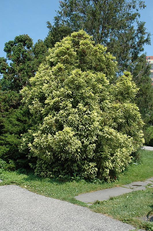 Sekkan Japanese Cedar (Cryptomeria japonica 'Sekkan Sugi') at Wolf Hill Home & Garden