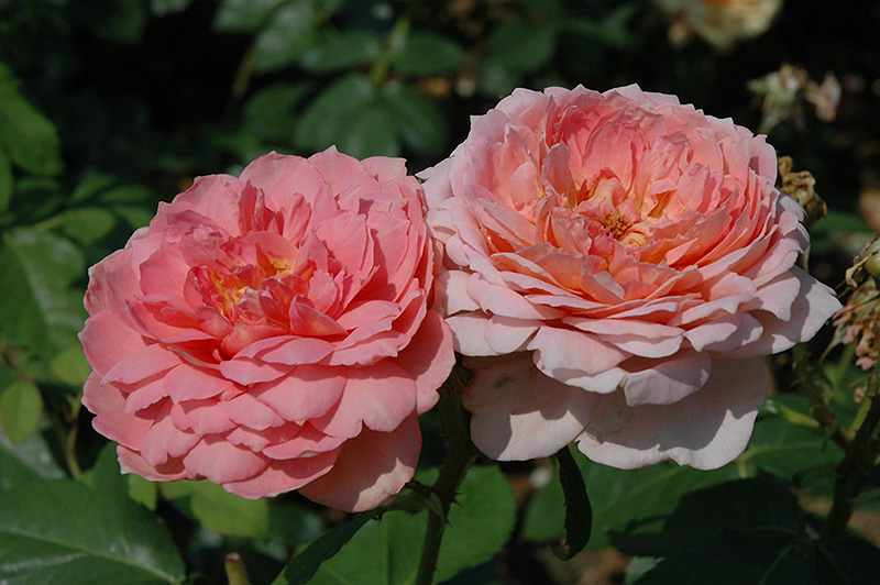 Carding Mill Rose (Rosa 'Carding Mill') at Wolf Hill Home & Garden