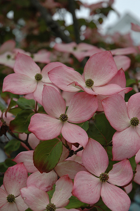 Heart Throb Chinese Dogwood (Cornus kousa 'Heart Throb') at Wolf Hill Home & Garden
