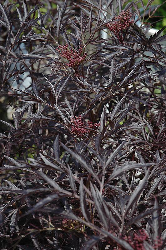 Black Lace Elder (Sambucus nigra 'Eva') at Wolf Hill Home & Garden