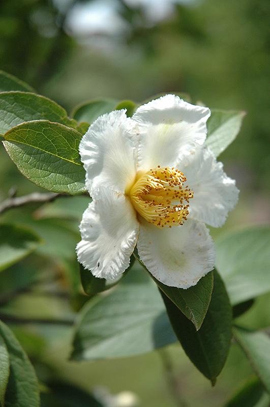 Japanese Stewartia (Stewartia pseudocamellia) at Wolf Hill Home & Garden