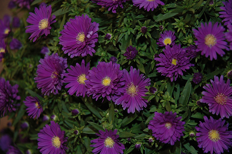 Dragon Aster (Aster 'Yodragon') at Wolf Hill Home & Garden