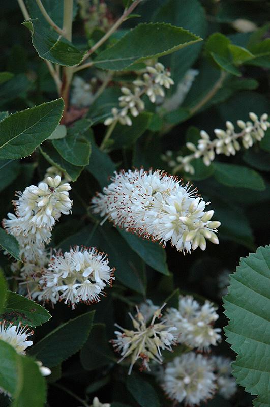 Vanilla Spice Summersweet (Clethra alnifolia 'Caleb') at Wolf Hill Home & Garden