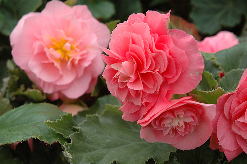Nonstop Pink Begonia (Begonia 'Nonstop Pink') at Wolf Hill Home & Garden