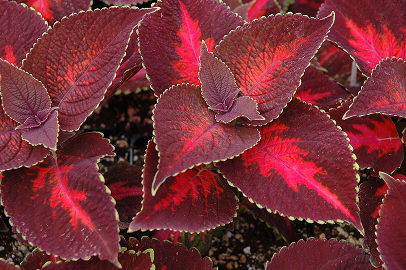 ColorBlaze Kingswood Torch Coleus (Solenostemon scutellarioides 'Kingswood Torch') at Wolf Hill Home & Garden