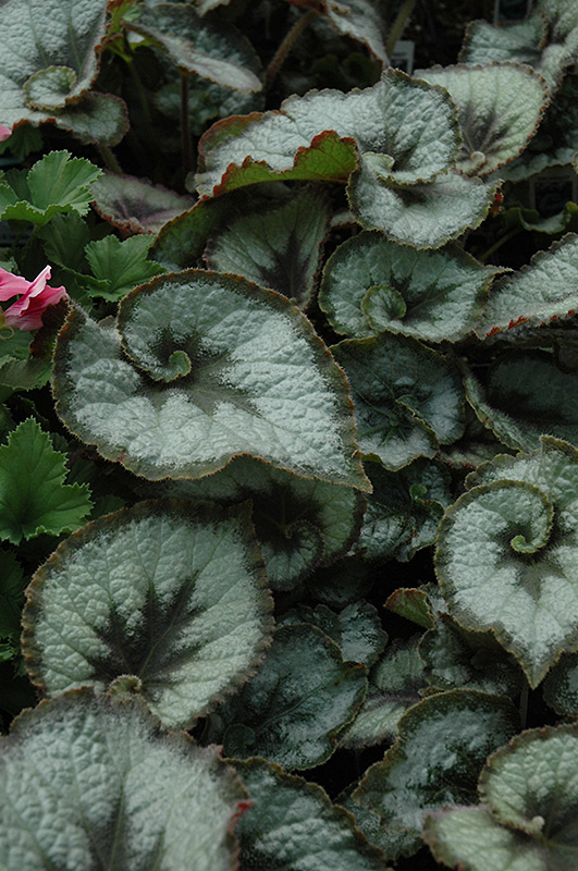 Escargot Begonia (Begonia 'Escargot') at Wolf Hill Home & Garden