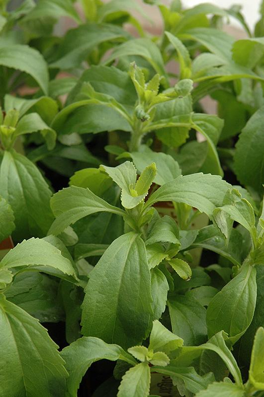 Sweetleaf (Stevia rebaudiana) at Wolf Hill Home & Garden