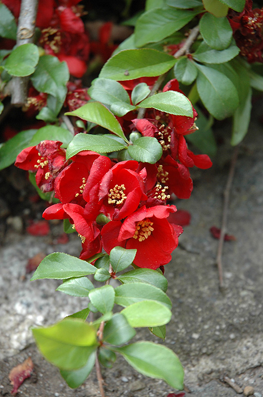 Crimson and Gold Flowering Quince (Chaenomeles x superba 'Crimson and Gold') at Wolf Hill Home & Garden