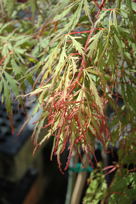 Spring Delight Japanese Maple (Acer palmatum 'Spring Delight') at Wolf Hill Home & Garden