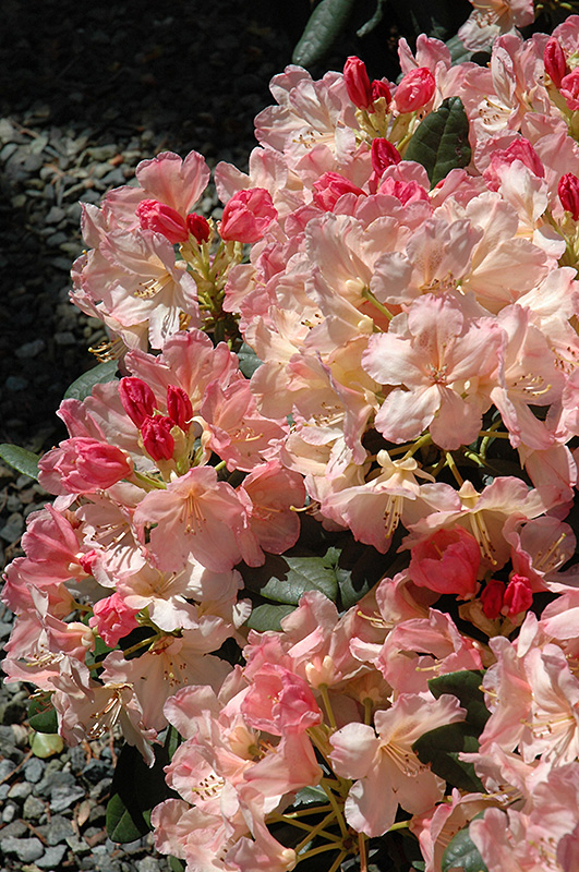 Percy Wiseman Rhododendron (Rhododendron 'Percy Wiseman') at Wolf Hill Home & Garden