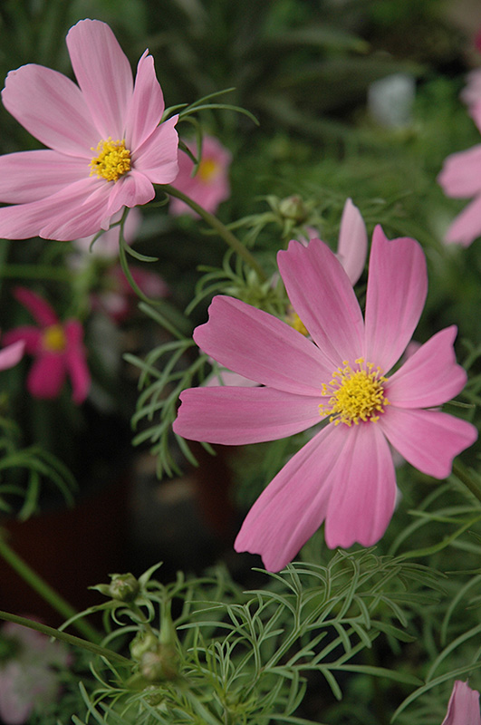 Sensation Cosmos (Cosmos 'Sensation') at Wolf Hill Home & Garden
