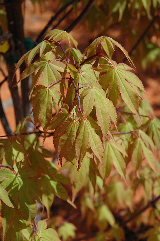 Osakazuki Japanese Maple (Acer palmatum 'Osakazuki') at Wolf Hill Home & Garden