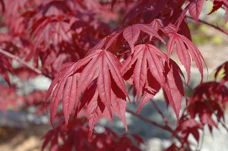 Nuresagi Japanese Maple (Acer palmatum 'Nuresagi') at Wolf Hill Home & Garden