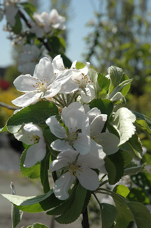 Cortland Apple (Malus 'Cortland') at Wolf Hill Home & Garden