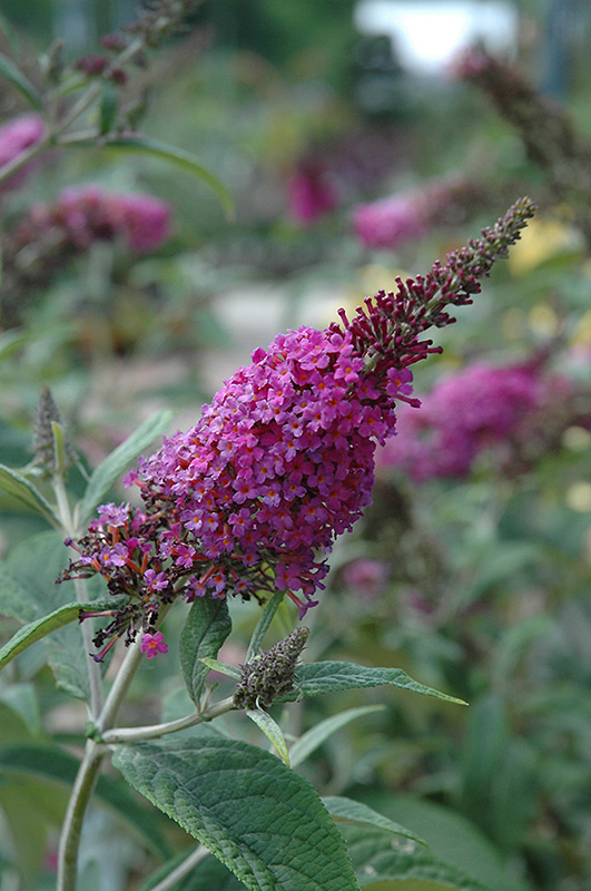 Miss Ruby Butterfly Bush (Buddleia davidii 'Miss Ruby') at Wolf Hill Home & Garden