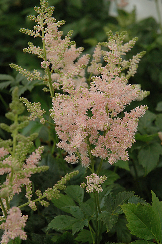 Apple Blossom Japanese Astilbe (Astilbe japonica 'Apple Blossom') at Wolf Hill Home & Garden