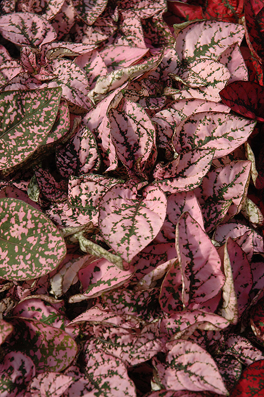 Splash Select Pink Polka Dot Plant (Hypoestes phyllostachya 'Splash Select Pink') at Wolf Hill Home & Garden