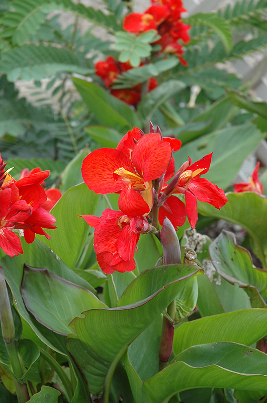 Tropical Red Canna (Canna 'Tropical Red') at Wolf Hill Home & Garden