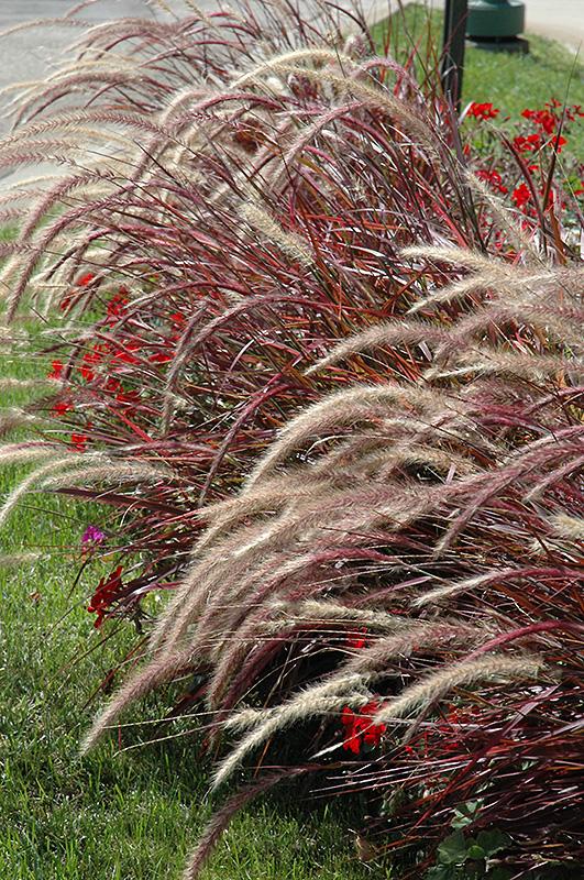 Fireworks Fountain Grass (Pennisetum setaceum 'Fireworks') at Wolf Hill Home & Garden