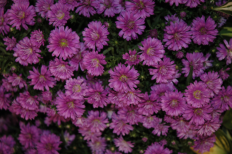 Pink Henry Aster (Aster 'Pink Henry') at Wolf Hill Home & Garden