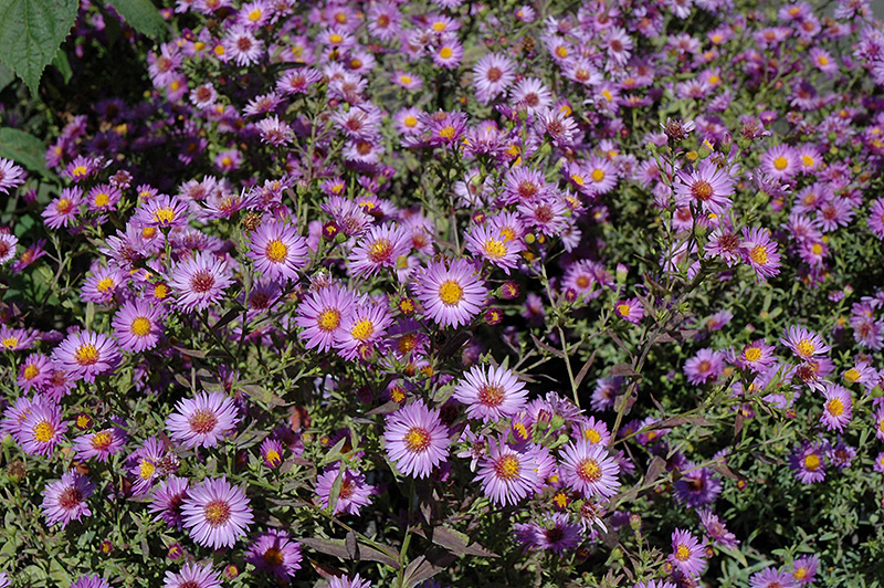 Woods Purple Aster (Aster 'Woods Purple') at Wolf Hill Home & Garden